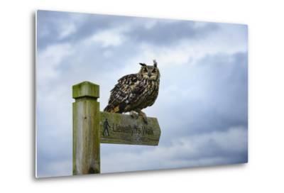 Eagle Owl, Raptor, Bird of Prey on Sign Post for Llewellyn'Swalk, Rhayader, Mid Wales, U.K.-Janette Hill-Metal Print