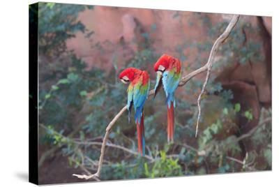 Red-And-Green Macaws (Ara Chloropterus) Perched on a Branch in Buraco Das Araras, Brazil-G&M Therin-Weise-Stretched Canvas Print