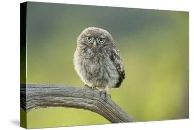 Little Owl (Athene Noctua), Yorkshire, England, United Kingdom, Europe-Kevin Morgans-Stretched Canvas Print