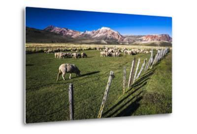 Sheep on the Farm at Estancia La Oriental, Argentina-Matthew Williams-Ellis-Metal Print