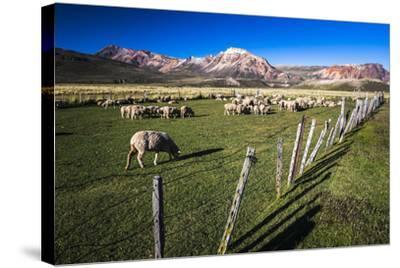 Sheep on the Farm at Estancia La Oriental, Argentina-Matthew Williams-Ellis-Stretched Canvas Print