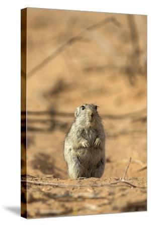 Brant's Whistling Rat (Parotomys Brantsii) in the Kalahari, Northern Cape, Africa-Ann & Steve Toon-Stretched Canvas Print