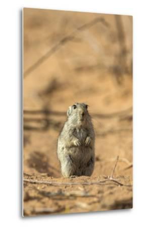 Brant's Whistling Rat (Parotomys Brantsii) in the Kalahari, Northern Cape, Africa-Ann & Steve Toon-Metal Print