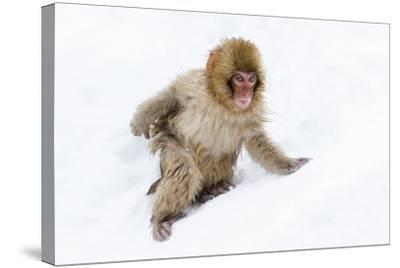 Japanese Macaque (Snow Monkey) (Macata Fuscata), Japan-Andrew Sproule-Stretched Canvas Print