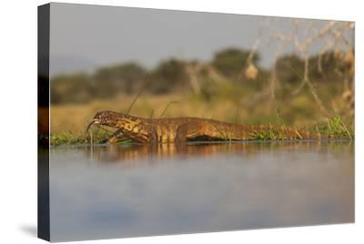 Water Monitor (Leguaan) (Varanus Niloticus), Zimanga Private Game Reserve, Kwazulu-Natal, Africa-Ann & Steve Toon-Stretched Canvas Print