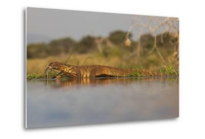Water Monitor (Leguaan) (Varanus Niloticus), Zimanga Private Game Reserve, Kwazulu-Natal, Africa-Ann & Steve Toon-Metal Print