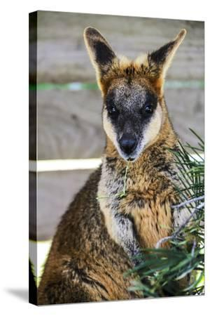 Kangaroo Eating and Looking at the Camera, Queensland, Australia Pacific-Noelia Ramon-Stretched Canvas Print