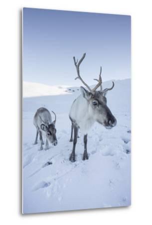 Reindeer (Rangifer Tarandus) Female with Young, Cairngorms National Park, Scotland, United Kingdom-Ann & Steve Toon-Metal Print