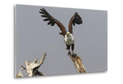 African Fish Eagle (Haliaeetus Vocifer), Chobe National Park, Botswana, Africa-Ann & Steve Toon-Metal Print