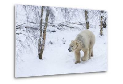 Polar Bear (Ursus Maritimus) Male, Captive, Highland Wildlife Park, Kingussie, Scotland, U.K.-Ann & Steve Toon-Metal Print