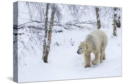 Polar Bear (Ursus Maritimus) Male, Captive, Highland Wildlife Park, Kingussie, Scotland, U.K.-Ann & Steve Toon-Stretched Canvas Print
