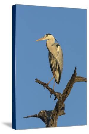 Grey Heron (Ardea Cinerea), Kruger National Park, South Africa, Africa-Ann & Steve Toon-Stretched Canvas Print