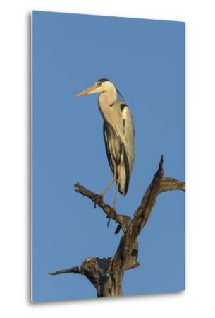 Grey Heron (Ardea Cinerea), Kruger National Park, South Africa, Africa-Ann & Steve Toon-Metal Print