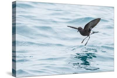 Adult Wilson's Storm Petrel (Oceanites Oceanicus), South Georgia, Polar Regions-Michael Nolan-Stretched Canvas Print