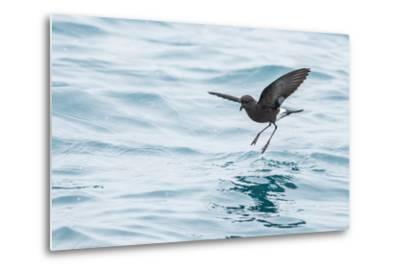 Adult Wilson's Storm Petrel (Oceanites Oceanicus), South Georgia, Polar Regions-Michael Nolan-Metal Print