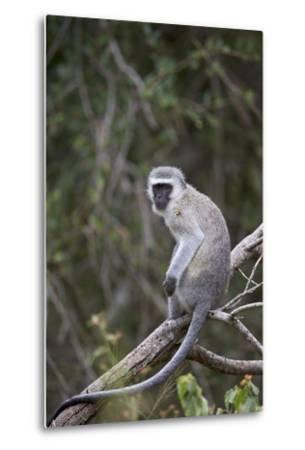 Vervet Monkey (Chlorocebus Aethiops), Kruger National Park, South Africa, Africa-James Hager-Metal Print