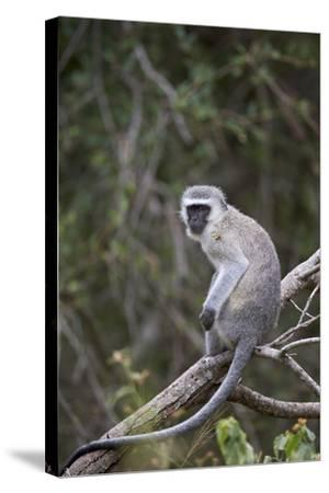 Vervet Monkey (Chlorocebus Aethiops), Kruger National Park, South Africa, Africa-James Hager-Stretched Canvas Print