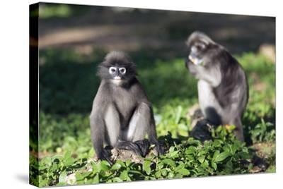 Dusky Langur Monkey (Trachypithecus Obscurus), Prachuap Kiri Khan, Thailand, Southeast Asia, Asia-Christian Kober-Stretched Canvas Print