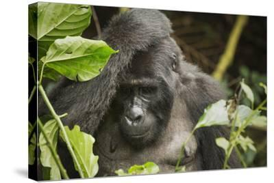 Mountain Gorilla, Bwindi Impenetrable National Park, Uganda, Africa-Janette Hill-Stretched Canvas Print