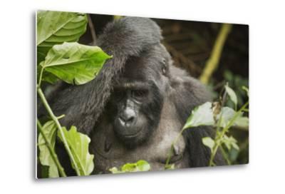 Mountain Gorilla, Bwindi Impenetrable National Park, Uganda, Africa-Janette Hill-Metal Print