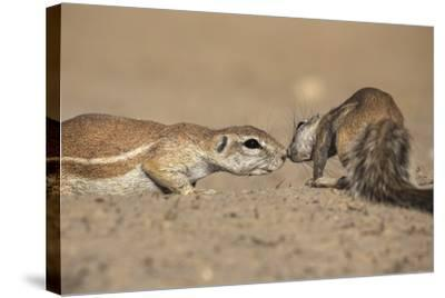 Ground Squirrels (Xerus Inauris), Kgalagadi Transfrontier Park, Northern Cape, South Africa, Africa-Ann & Steve Toon-Stretched Canvas Print