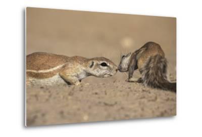 Ground Squirrels (Xerus Inauris), Kgalagadi Transfrontier Park, Northern Cape, South Africa, Africa-Ann & Steve Toon-Metal Print