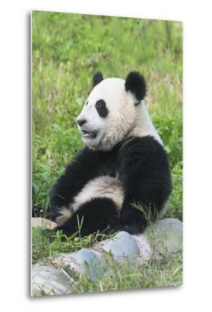 Two Year Old Young Giant Panda (Ailuropoda Melanoleuca), Chengdu, Sichuan, China, Asia-G&M Therin-Weise-Metal Print