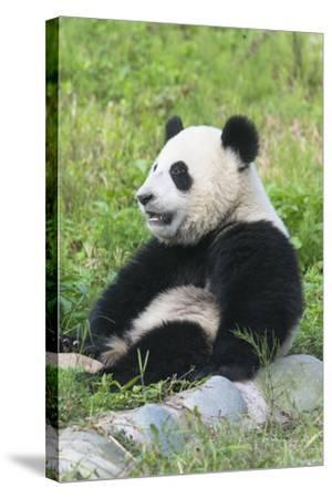 Two Year Old Young Giant Panda (Ailuropoda Melanoleuca), Chengdu, Sichuan, China, Asia-G&M Therin-Weise-Stretched Canvas Print