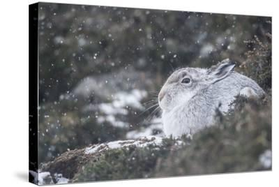 Mountain Hare (Lepus Timidus), Scottish Highlands, Scotland, United Kingdom, Europe-David and Louis Gibbon-Stretched Canvas Print