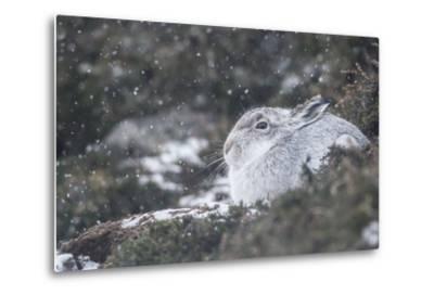 Mountain Hare (Lepus Timidus), Scottish Highlands, Scotland, United Kingdom, Europe-David and Louis Gibbon-Metal Print