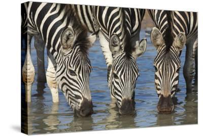 Burchell's Zebra (Plains Zebra) (Equus Burchelli) Drinking, Kwazulu-Natal, Africa-Ann & Steve Toon-Stretched Canvas Print