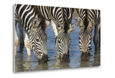 Burchell's Zebra (Plains Zebra) (Equus Burchelli) Drinking, Kwazulu-Natal, Africa-Ann & Steve Toon-Metal Print