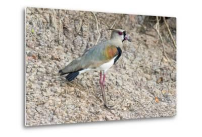 Southern Lapwing (Vanellus Chilensis), Pantanal, Mato Grosso, Brazil, South America-G&M Therin-Weise-Metal Print