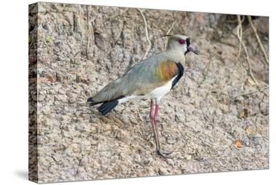 Southern Lapwing (Vanellus Chilensis), Pantanal, Mato Grosso, Brazil, South America-G&M Therin-Weise-Stretched Canvas Print