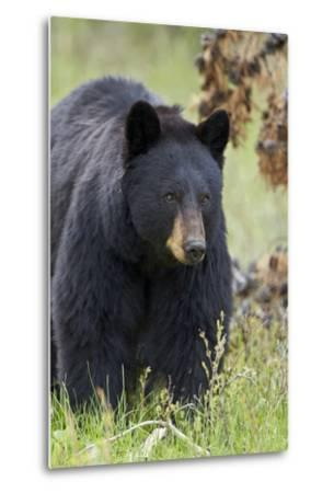 Black Bear (Ursus Americanus), Yellowstone National Park, Wyoming, United States of America-James Hager-Metal Print