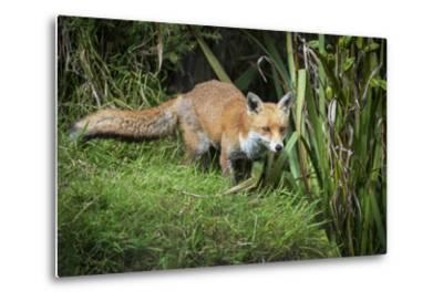 Red Fox (Vulpes Vulpes), Devon, England, United Kingdom, Europe-Janette Hill-Metal Print