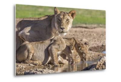 Lioness with Cubs (Panthera Leo) at Water, Kgalagadi Transfrontier Park, Northern Cape, Africa-Ann & Steve Toon-Metal Print