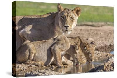 Lioness with Cubs (Panthera Leo) at Water, Kgalagadi Transfrontier Park, Northern Cape, Africa-Ann & Steve Toon-Stretched Canvas Print