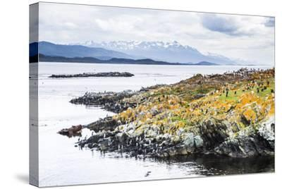 Cormorant Colony on an Island at Ushuaia in the Beagle Channel (Beagle Strait), Argentina-Matthew Williams-Ellis-Stretched Canvas Print