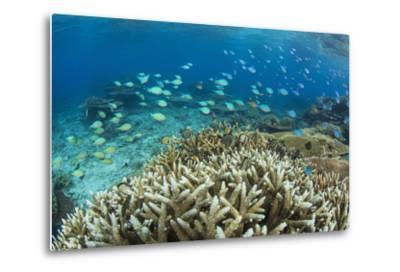 Reef Fishes Amongst Profusion of Hard Plate at Pulau Setaih Island, Natuna Archipelago, Indonesia-Michael Nolan-Metal Print