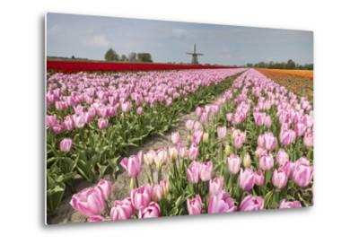 Multicolored Tulip Fields Frame the Windmill in Spring, Netherlands-Roberto Moiola-Metal Print