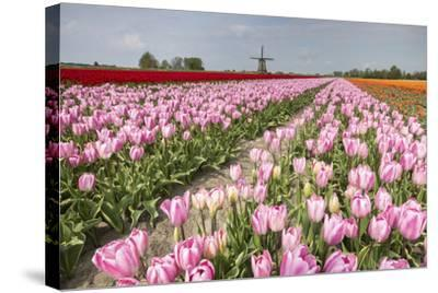 Multicolored Tulip Fields Frame the Windmill in Spring, Netherlands-Roberto Moiola-Stretched Canvas Print