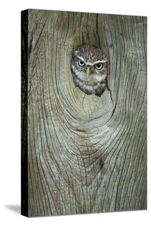 Little Owl (Athene Noctua), in Captivity, Gloucestershire, England, United Kingdom, Europe-Kevin Morgans-Stretched Canvas Print