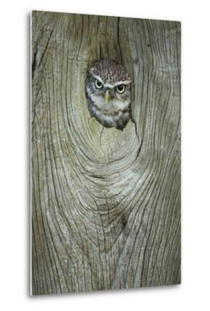 Little Owl (Athene Noctua), in Captivity, Gloucestershire, England, United Kingdom, Europe-Kevin Morgans-Metal Print