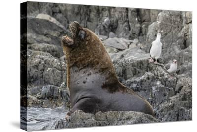 South American Sea Lion Bull (Otaria Flavescens) at Breeding Colony Just Outside Ushuaia, Argentina-Michael Nolan-Stretched Canvas Print