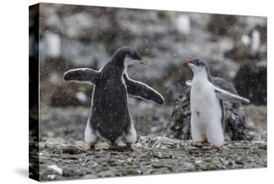 Gentoo Penguin Chicks (Pygoscelis Papua) in Ecstatic Display at Brown Bluff, Polar Regions-Michael Nolan-Stretched Canvas Print