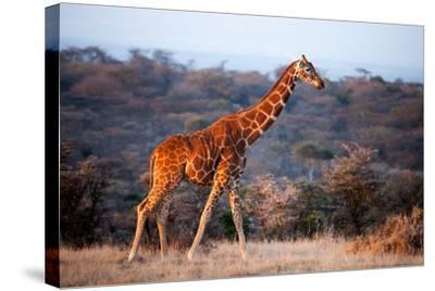 Giraffe, Kenya, East Africa, Africa-John Alexander-Stretched Canvas Print
