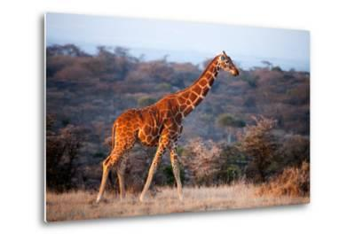 Giraffe, Kenya, East Africa, Africa-John Alexander-Metal Print
