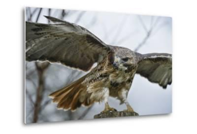 Red Tailed Hawk, an American Raptor, Bird of Prey, United Kingdom, Europe-Janette Hill-Metal Print