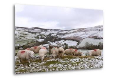 Sheep Feed on High Moorland in a Wintry Landscape in Powys, Wales, United Kingdom, Europe-Graham Lawrence-Metal Print